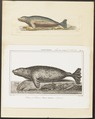 Phoca chorisii - 1700-1880 - Print - Iconographia Zoologica - Special Collections University of Amsterdam - UBA01 IZ21100219.tif