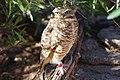 Phoenix zoo, Arizona, USA (32144980463).jpg