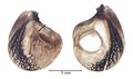 Pholidoptera griseoaptera Vorderflügel.png