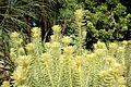 Phylica pubescens - San Francisco Botanical Garden - DSC09923.JPG