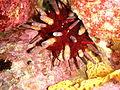Phyllacanthus irregularis P1020913.JPG