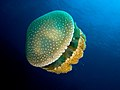 Phyllorhiza punctata (White-spotted jellyfish) edit.jpg