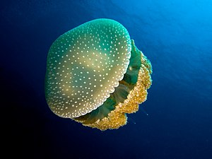 Jellyfish - A white-spotted jellyfish off the north coast of Haiti