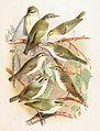 Phylloscopus xanthodryas & Phylloscopus nitidus & Phylloscopus trochiloides viridanus & Phylloscopus plumbeitarsus & Phylloscopus tenellipes & Phylloscopus occipitalis 1889.jpg
