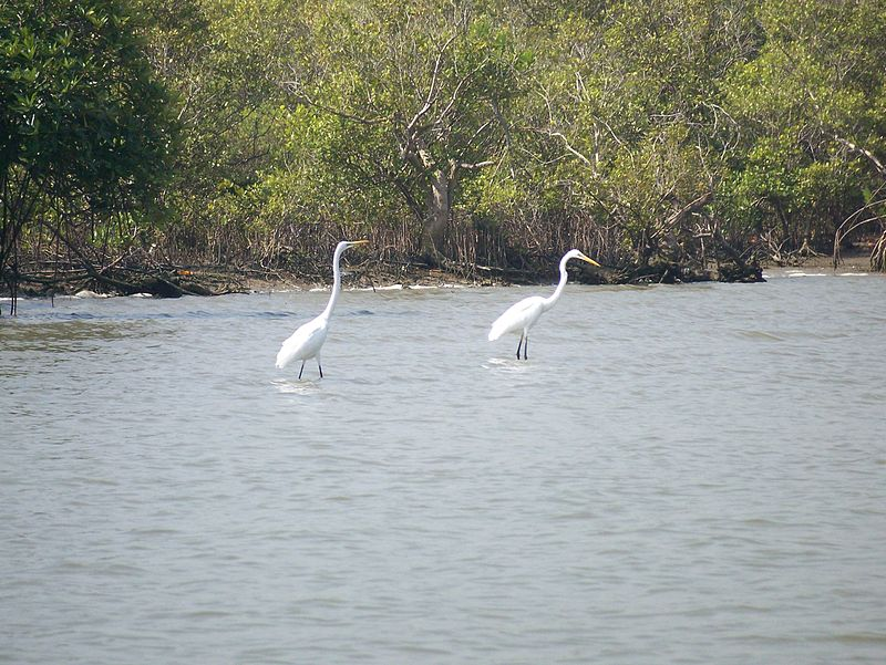 Eastern Great Egrets in Pichavaram Mangrove Forest