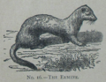 Picture Natural History - No 16 - The Ermine.png