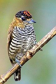 Picumnus temminckii1