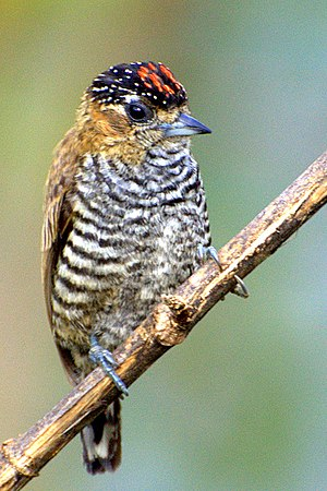 Ochre-collared piculet - Male