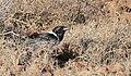Pied Crow (Corvus albus) (45524461534).jpg