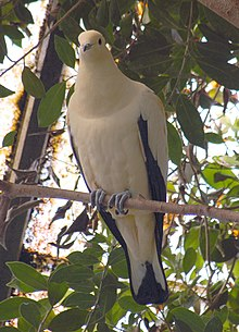 Pied imperial pigeon perched on a branch