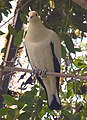 Pied Imperial-pigeon Ducula bicolor National Aviary 1300px.jpg