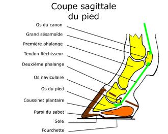 partie du pieds