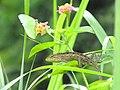 Pieridae and reptile (14246381799).jpg