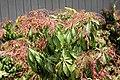 Pieris japonica Shojo 1zz.jpg