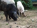 Pigs in Buttermere - geograph.org.uk - 243797.jpg