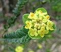 Pimelea flava subsp. flava.jpg
