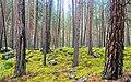 Pine Forest v.jpg