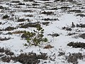 Pine tree, Creag Mhigeachaidh - geograph.org.uk - 318591.jpg