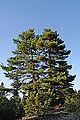 Pines in Mersin 04.jpg