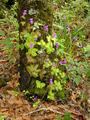 Pinguicula moranensis tree.png