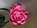 Pink Camellia 乙女サザンカ (246082883).jpeg