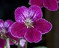Pink Cape Primrose 2 (4639387712).jpg