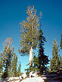 Pinus albicaulis USDA.jpg