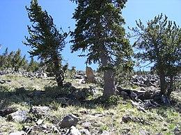 Pinus Humphreys1.jpg aristata