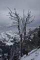 Pinus cembra hochfeld3717.JPG