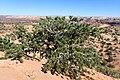Pinus edulis kz22.jpg