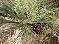 Pinus ponderosa 8124.jpg