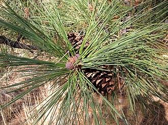 Eastern Cascades Slopes and Foothills (ecoregion) - Image: Pinus ponderosa 8124