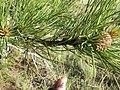 Pinus ponderosa var. scopulorum (7458436048).jpg