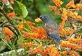 Pionus chalcopterus (Cotorra maicera) - Flickr - Alejandro Bayer (11).jpg