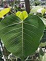 Pipal Leaf1.jpg