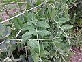 Pisum sativum - 1005.jpg
