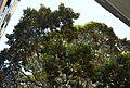 Plaça de Gabriel Miró (Alacant), ficus.JPG