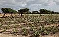 Plantage Aruba Aloe.jpg