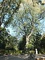 Platane, Naturdenkmal am Brunnen, 2017-09-29 ama fec.JPG