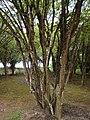 Plinia cauliflora Mococa Brazil 002.jpg