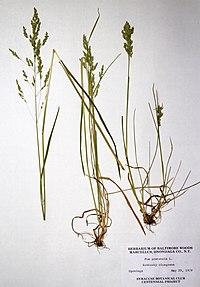 Poa pratensis ssp. pratensis BW-1979-0529-0506.jpg
