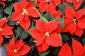 300px Poinsettia 2 Poinsettia Facts & History