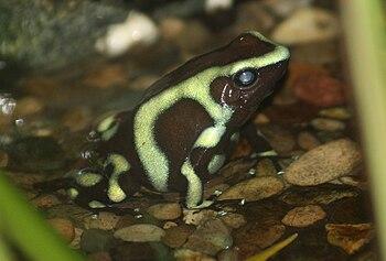 English: Poison Dart Frog (Dendrobates auratus...