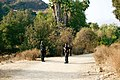 Police officers tracking a loose bear, Pasadena, California.jpg