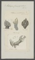 Pollicipes cornucopia - - Print - Iconographia Zoologica - Special Collections University of Amsterdam - UBAINV0274 101 01 0029.tif