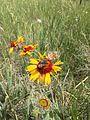 Pollinator on Composite (31668153875).jpg
