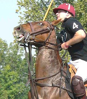 Polo pony wearing a Pelham bit with Curb chain...