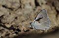 Polyommatus theresiae (Male) - Saimbeyli Mavisi.jpg