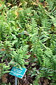Polypodium glycyrrhiza - Regional Parks Botanic Garden, Berkeley, CA - DSC04278.JPG