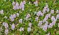 Pontederia crassipes in native habitat, Transpantaneira, Poconé, Mato Grosso, Brazil.jpg